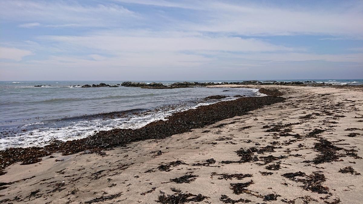 タカラガイ採集、根本海岸1