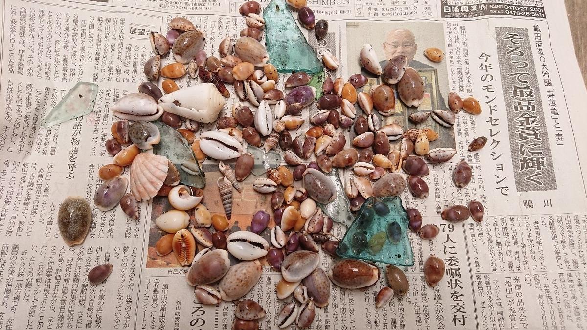 タカラガイ採集、根本海岸