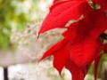 [植物]poinsettia