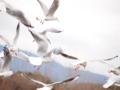 [鳥]ゆりかもめ@昆陽池