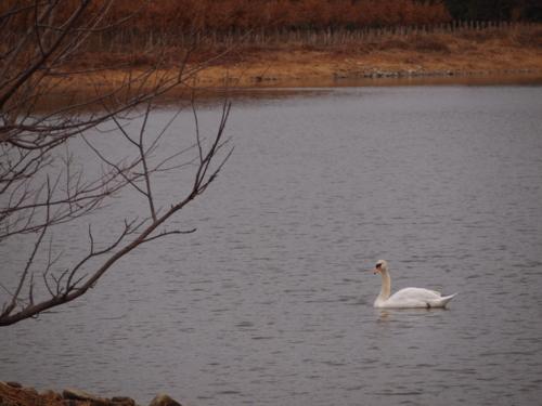 白鳥@昆陽池