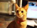 [猫]小顔猫
