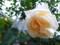 [植物][花][バラ]