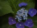 [花]ガクアジサイ