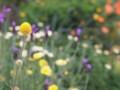 [花]クラスペディア