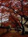[紅葉]桜