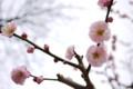 [花][梅]万博公園