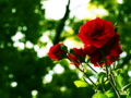 [花][バラ]中之島公園