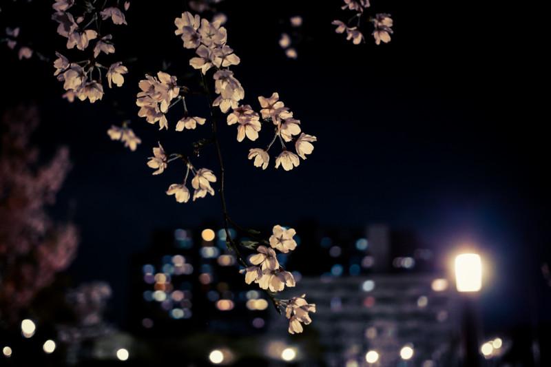 [桜][花]