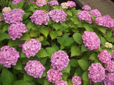 紫陽花の酸性雨による色の変化