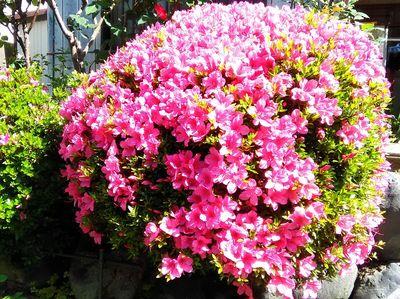 花盛りのサツキ