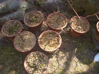 植え替え前の鉢植えバラ