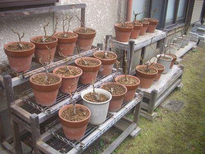 植え替え後の6合鉢バラたち