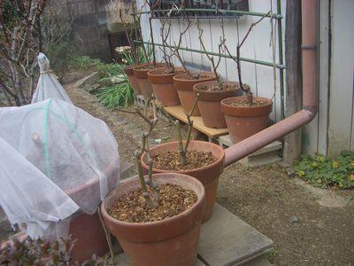 植え替え後の10合鉢バラたち