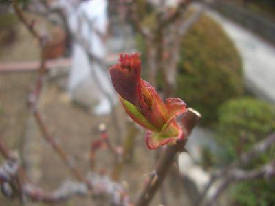 バラの新芽