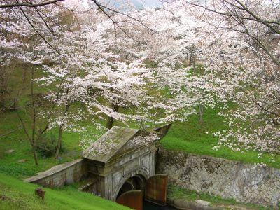 桜の名所 琵琶湖疏水