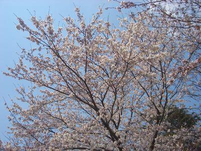 びわこ大津館の桜