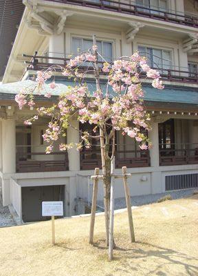 ヘレン・ケラーの植樹桜