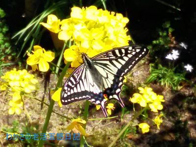 菜の花に止まるアゲハチョウ