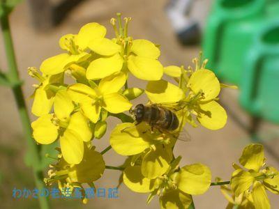菜の花に集まる昆虫達