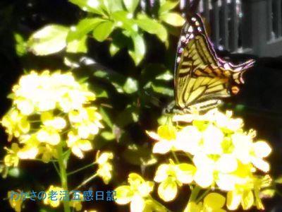陽射しで輝くアゲハチョウ