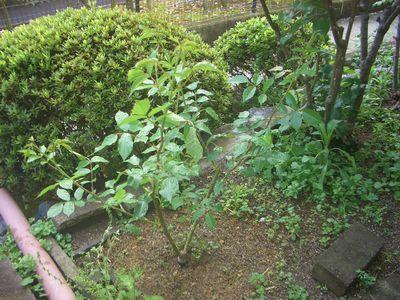 庭植え2ヶ月後のアイスバーグ