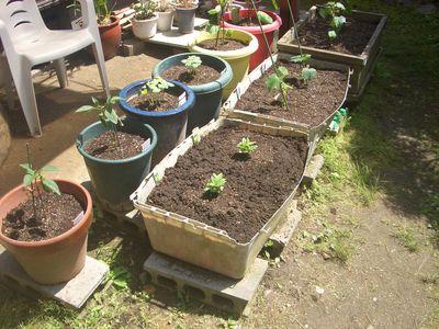 夏野菜植え付け完了