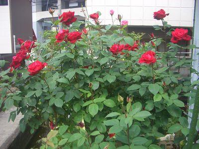 バラの花、宴