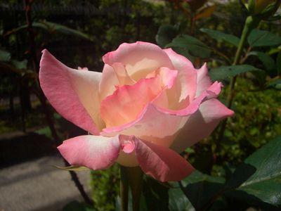 バラの花、夕霧