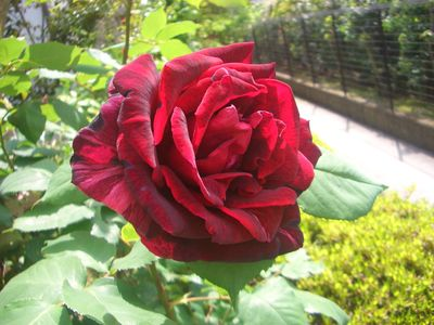 バラの花、パパ・メイアン