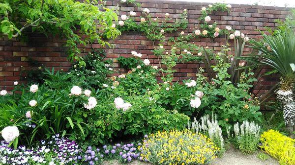 バラとコンパニオンプランツの寄せ植え