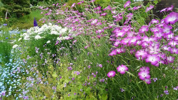 コスモスのピンクと青や白、緑の寄せ植え