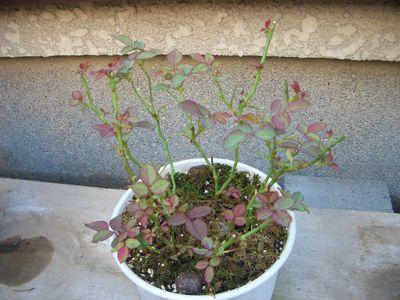 新芽を出したミニバラ