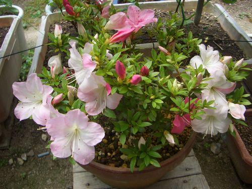 鉢植え盆栽のサツキ