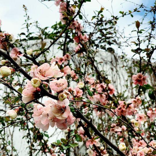 廃屋の側に咲いた梅の花
