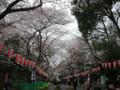 長長的櫻花大道