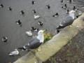 有人餵食的海鷗