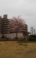 旁邊公園的櫻花
