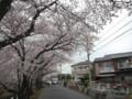 一路上都是櫻花