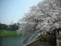 一整排的櫻花