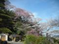 三色的櫻花