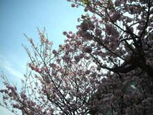 應該是櫻花沒錯吧?