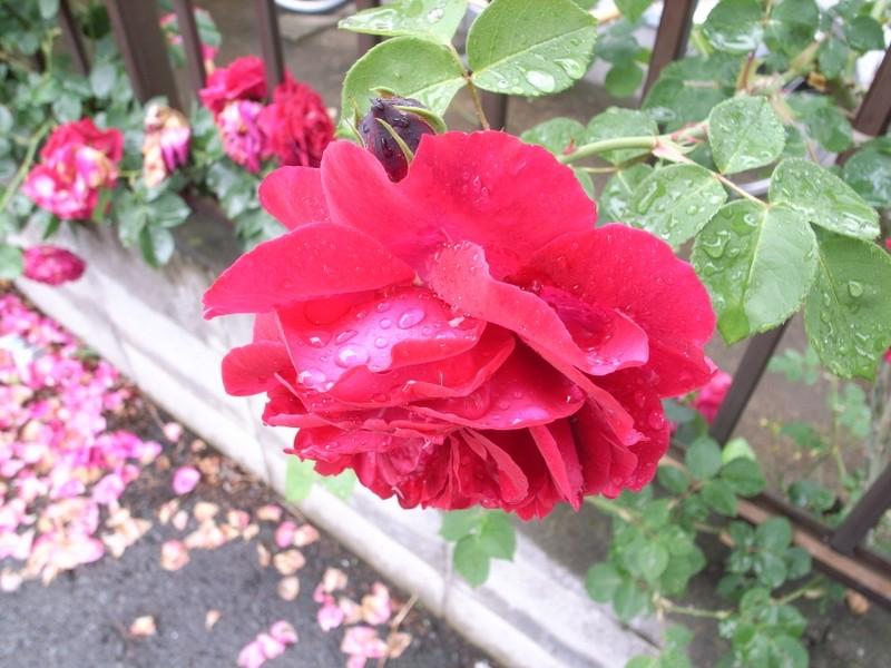 蘇りの薔薇
