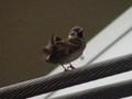 駅の架線上の雀