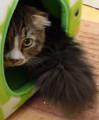 [○○王子][スコティッシュフォー][猫]しっぽ王子