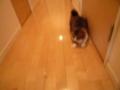 [こた動画][ノーカット版][スコティッシュフォー][猫動画]【※おもちゃ音、注意!】透明カタタン大好き!その1