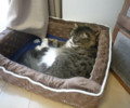 [猫][スコティッシュフォー][11月]November 15, 2011 Kotaro just dozing /ウトウト中の小太郎くん