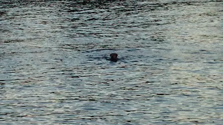 泳いでる犬