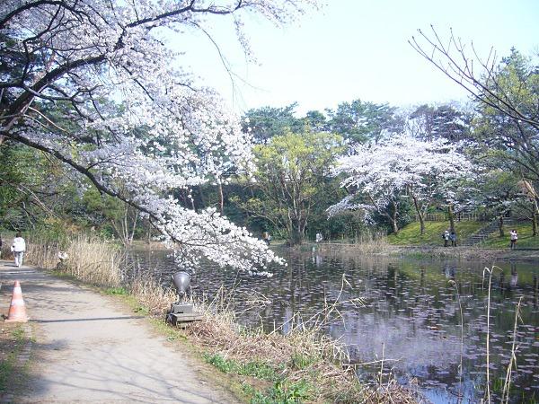 東池の一本桜