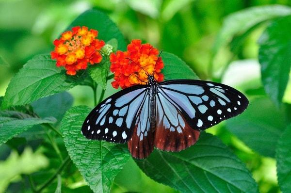 蜜を吸うきれいな蝶